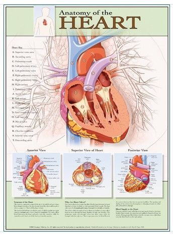 Chart of the Anatomy of the Heart